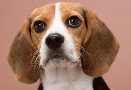 比格犬易患疾病有什么?怎么帮它治疗?